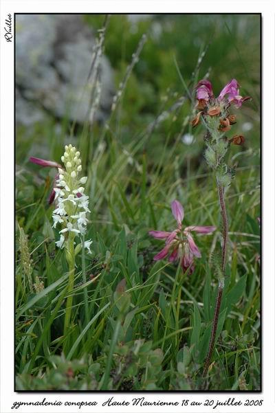 Gymnadenia conopsea (Orchis moucheron) Htemau39