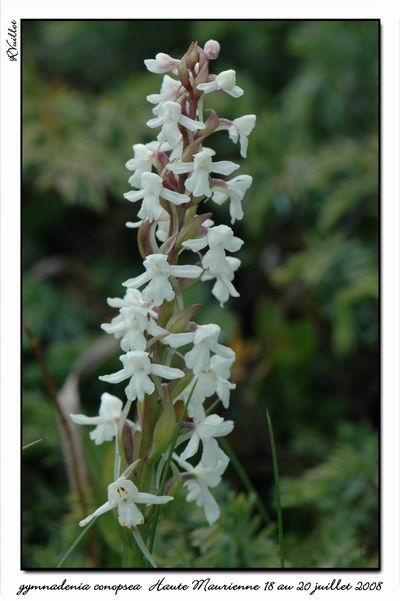 Gymnadenia conopsea (Orchis moucheron) Htemau40