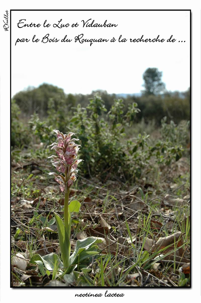 Neotinea lactea ( Orchis couleur de lait ) R001_n10