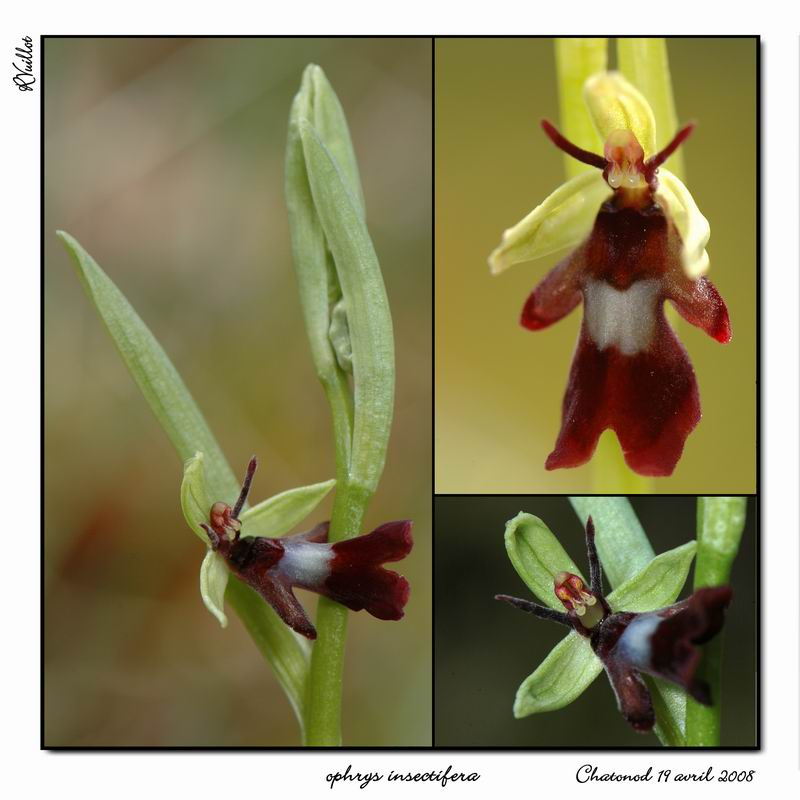 Ophrys insectifera ( Ophrys mouche ) R002-o10