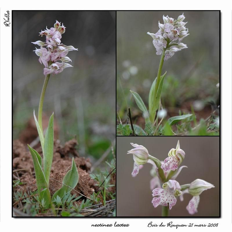 Neotinea lactea ( Orchis couleur de lait ) R003_n10