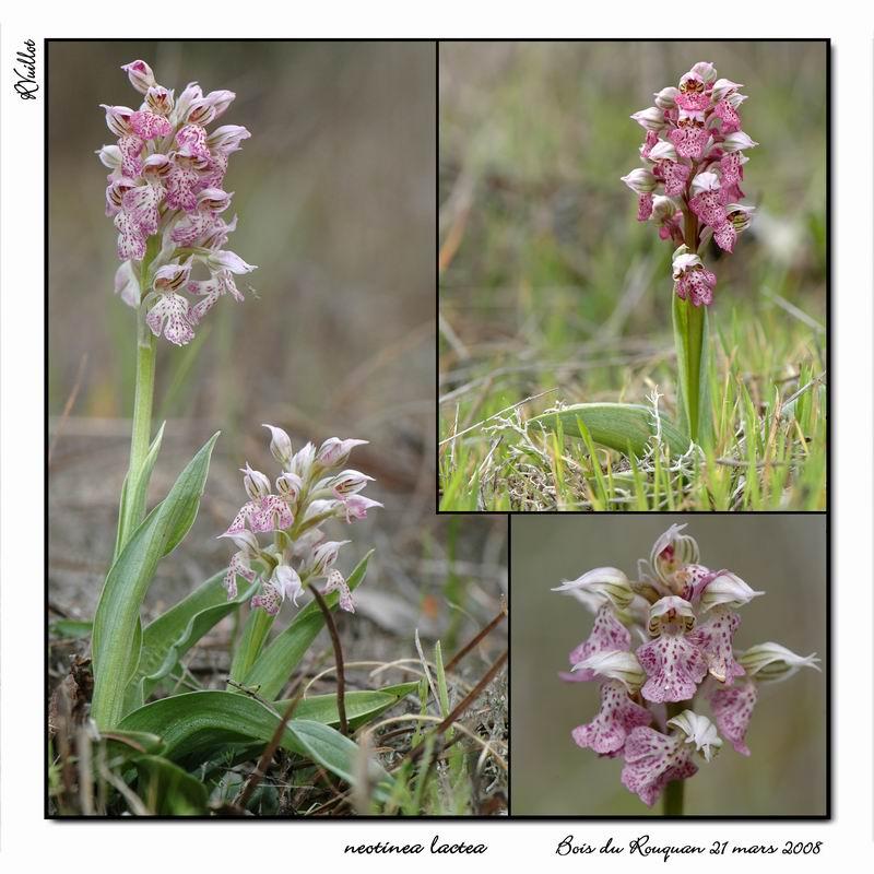 Neotinea lactea ( Orchis couleur de lait ) R004_n10