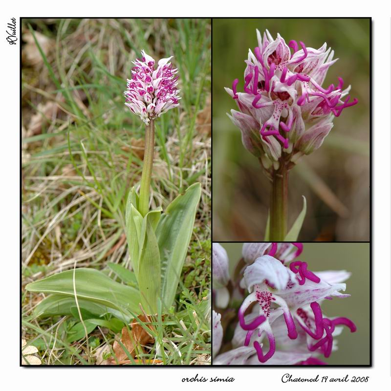 orchis simia ( Orchis singe ) R005-o10