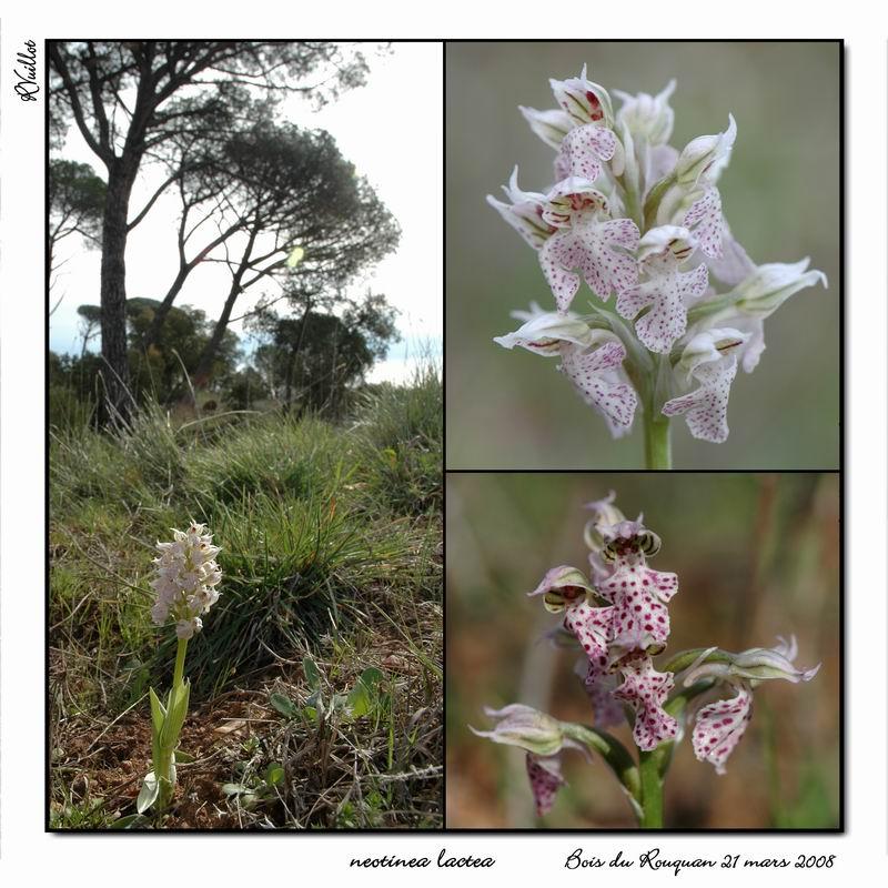 Neotinea lactea ( Orchis couleur de lait ) R005_n10