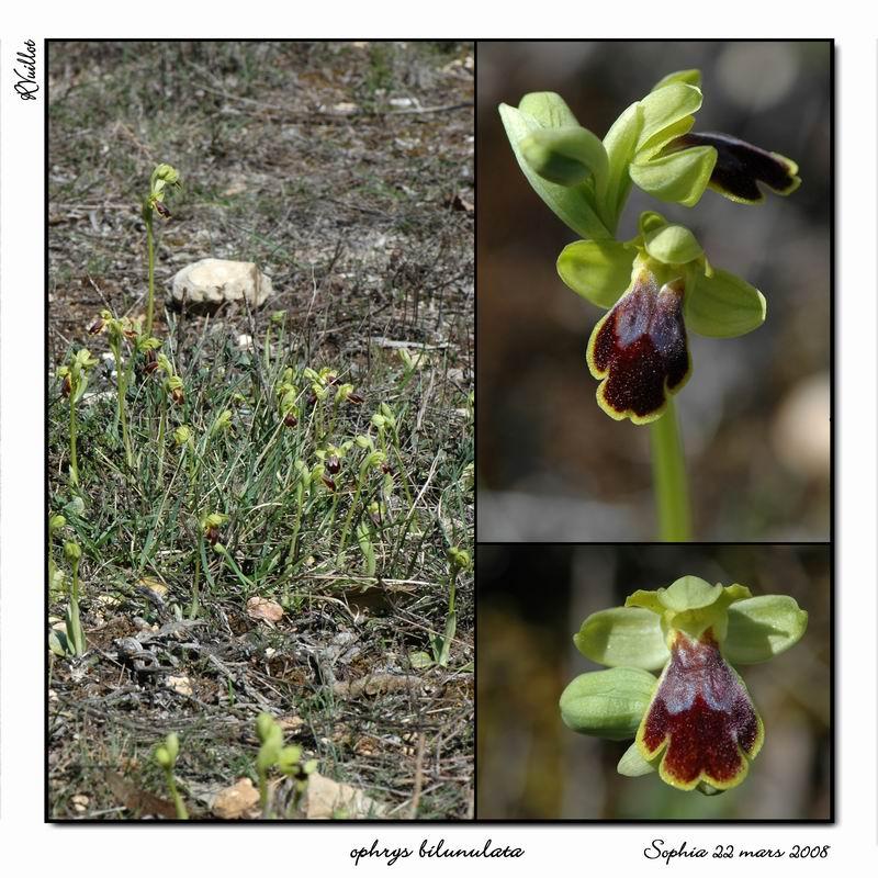 Ophrys marmorata / bilunulata / subfusca R015_o11