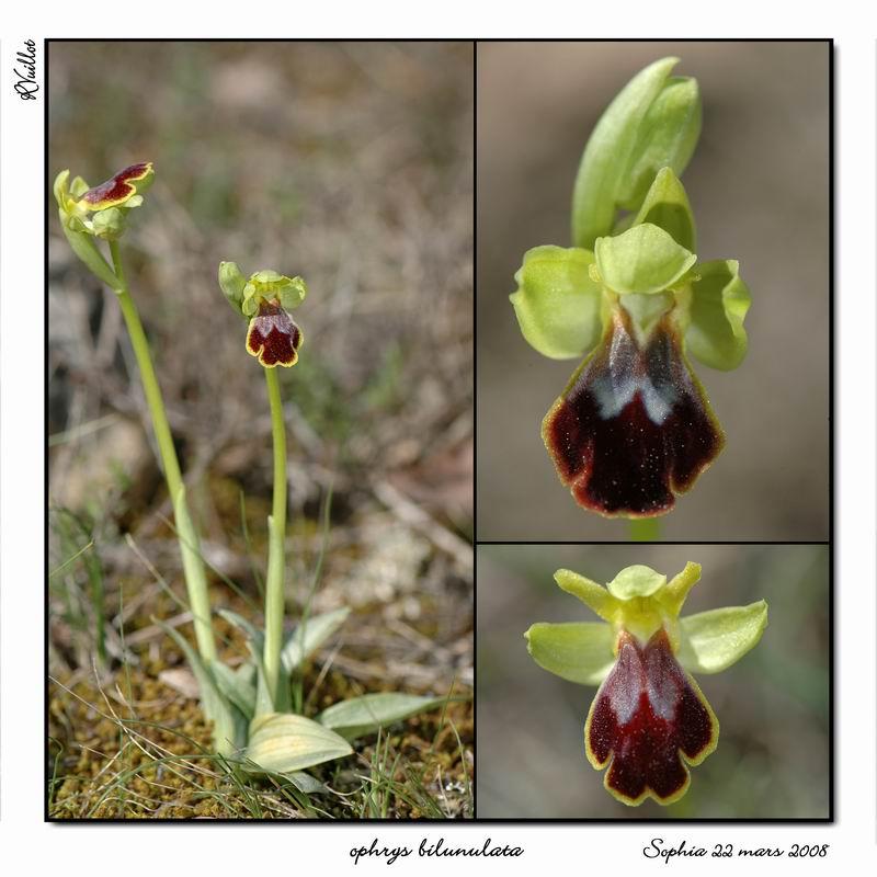 Ophrys marmorata / bilunulata / subfusca R016_o11