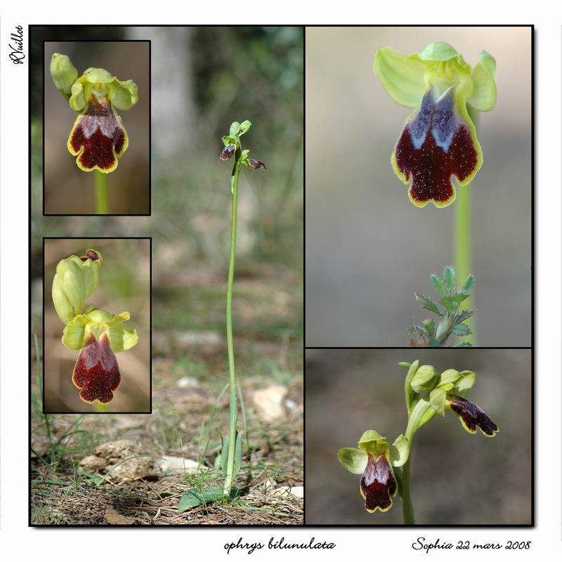 Ophrys marmorata / bilunulata / subfusca R017_o11