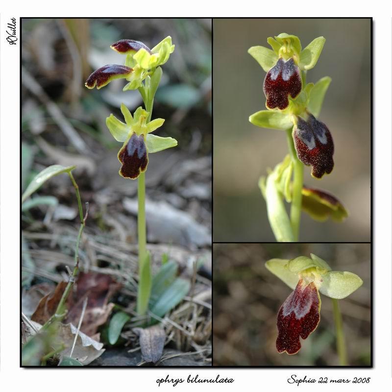 Ophrys marmorata / bilunulata / subfusca R018_o10