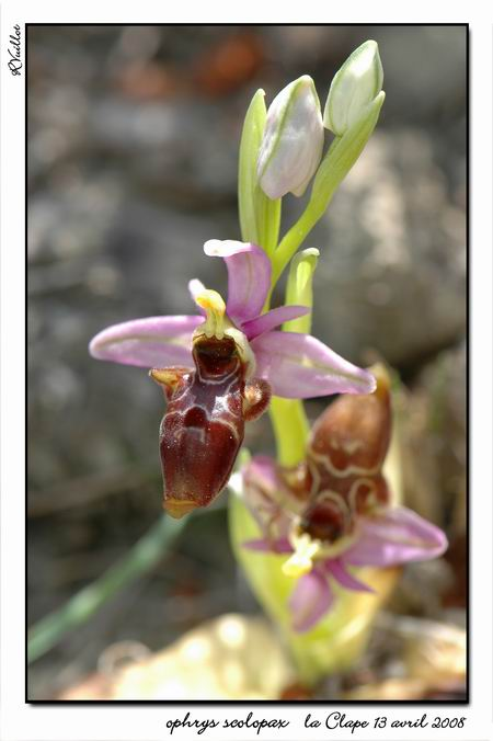 Ophrys scolopax ( Ophrys bécasse ) R09-gr10