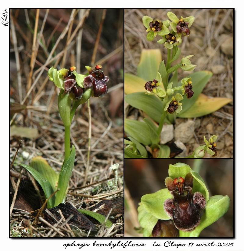 Ophrys bombyliflora ( Ophrys bombyx ) R11-gr10