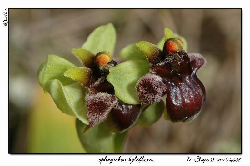 Ophrys bombyliflora ( Ophrys bombyx ) R12-gr10