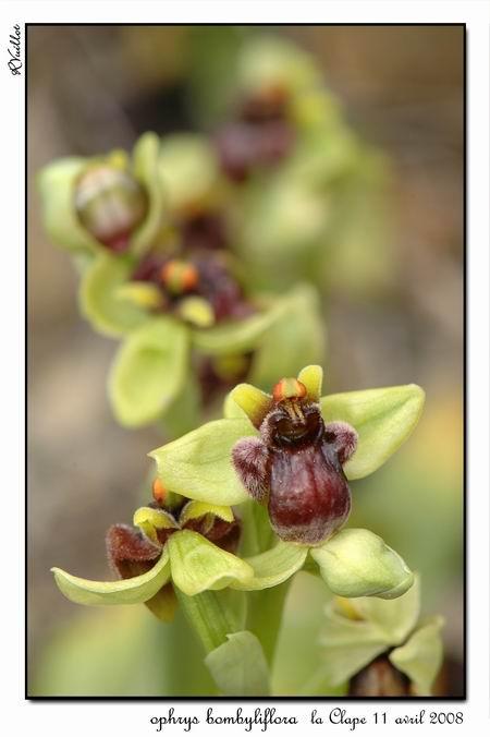 Ophrys bombyliflora ( Ophrys bombyx ) R13-gr10