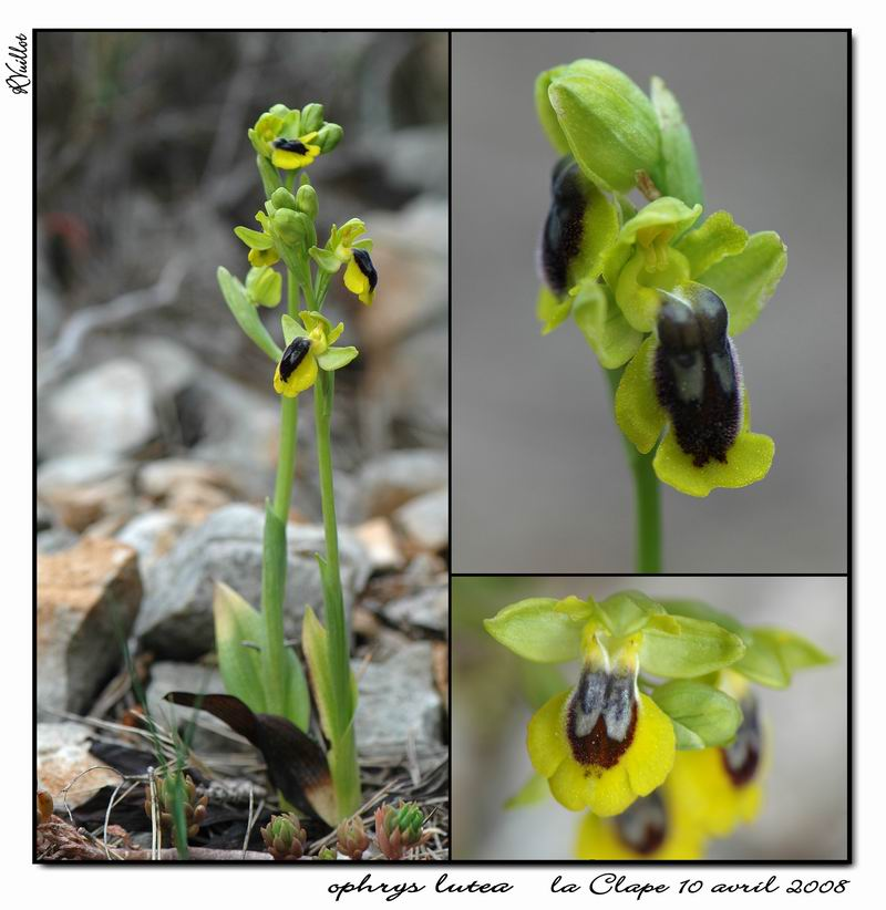 Ophrys lutea ( Ophrys jaune ) R15-gr10