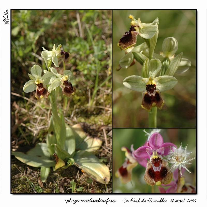 Ophrys tenthredinifera ( Ophrys guêpe ) R26-co10