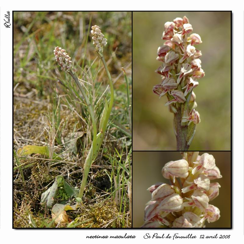 Neotinea maculata ( Orchis intact ) R27-co10