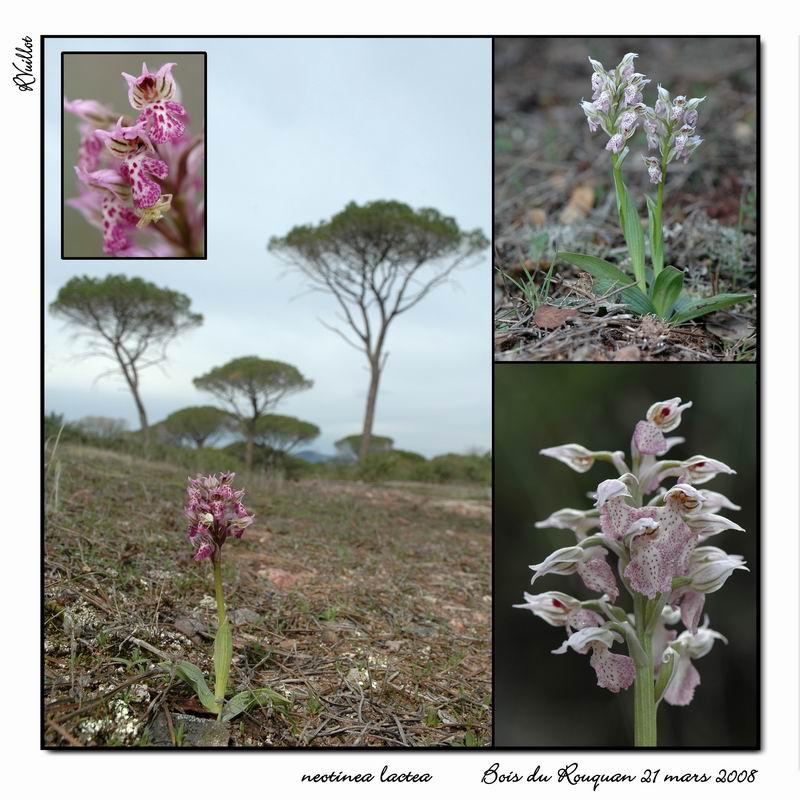 Neotinea lactea ( Orchis couleur de lait ) Rneola12