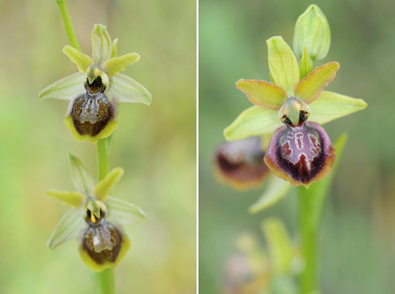 Ophrys riojana (Ophrys de la Rioja) 210