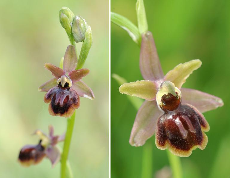 Ophrys riojana (Ophrys de la Rioja) 310