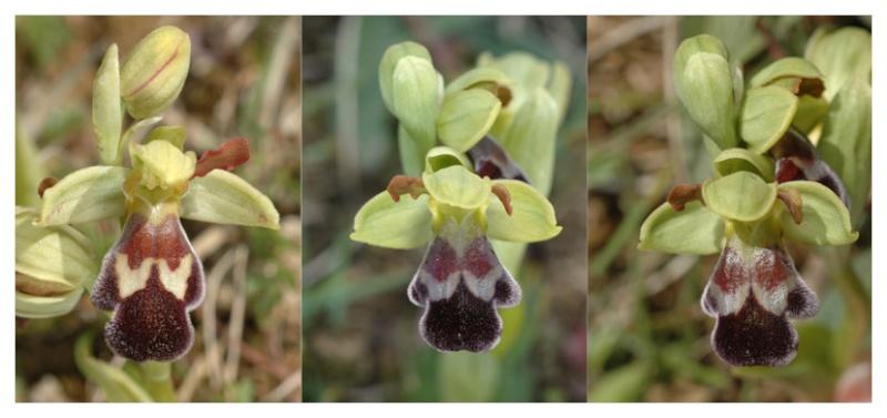 Ophrys vasconica ( Ophrys de Gascogne ) Dsc_0014
