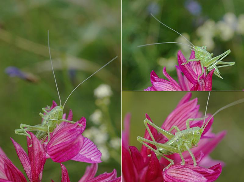 Anacamptis papilionacea (Orchis papillon ) Dsc_0127