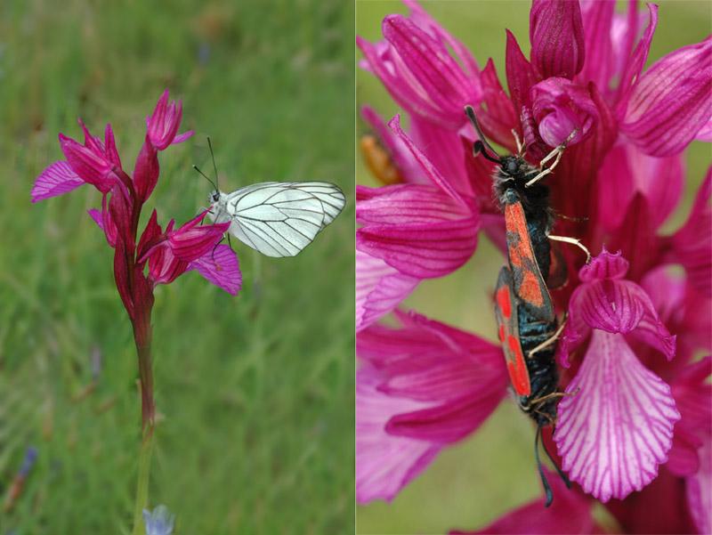 Anacamptis papilionacea (Orchis papillon ) Dsc_0129