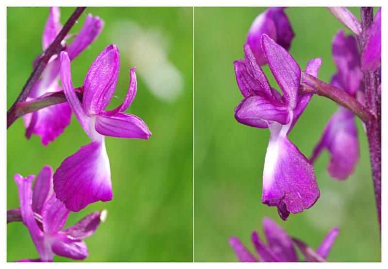 Anacamptis laxiflora ( Orchis à fleurs lâches ) Jlr_5110
