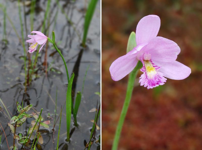 Orchidées du Québec en 3 épisodes Planch35