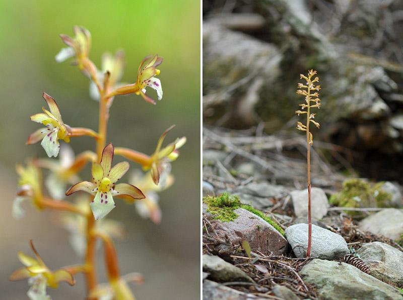 Orchidées du Québec en 3 épisodes Planch41