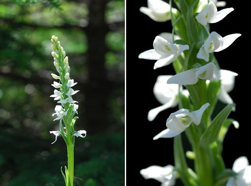 Orchidées du Québec en 3 épisodes Planch44