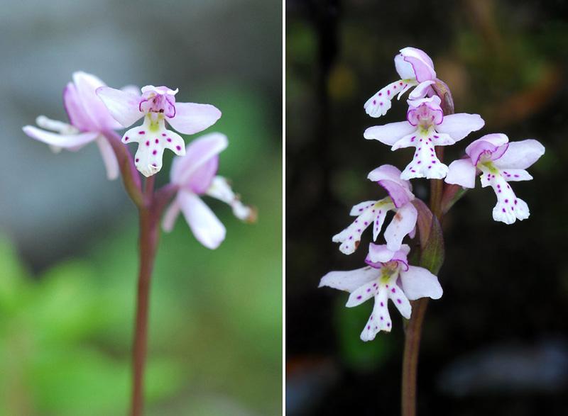Orchidées du Québec en 3 épisodes Planch51