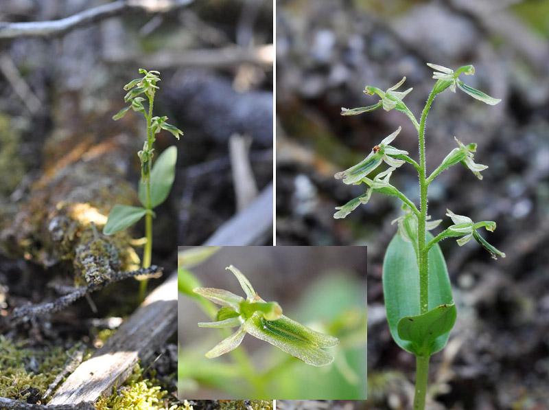 Orchidées du Québec en 3 épisodes Planch56