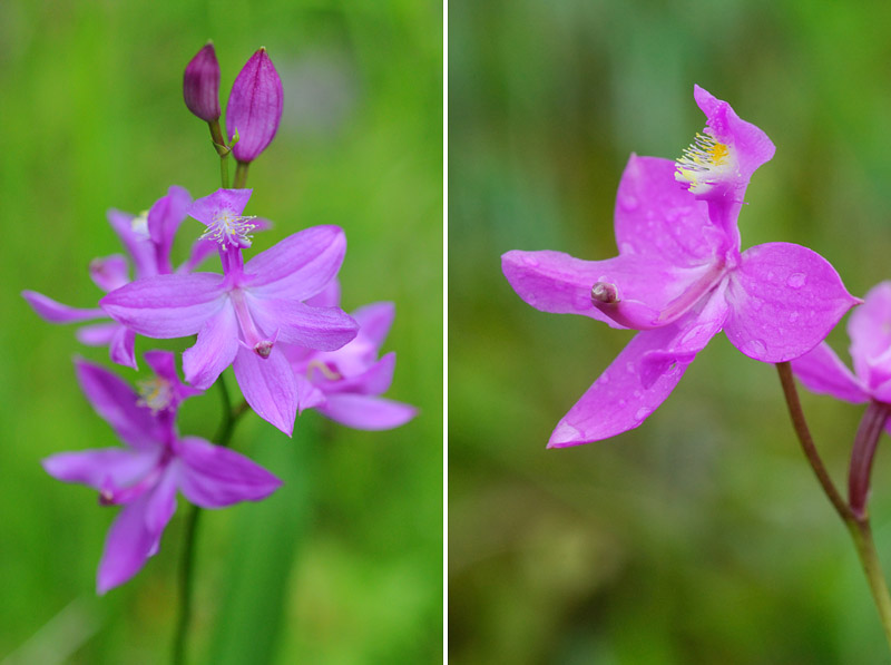 Orchidées du Québec en 3 épisodes Planch60