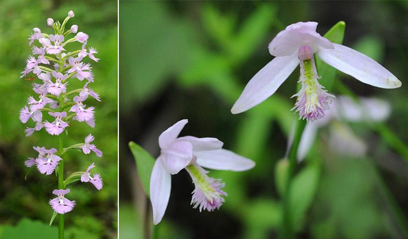 Orchidées du Québec en 3 épisodes Planch62