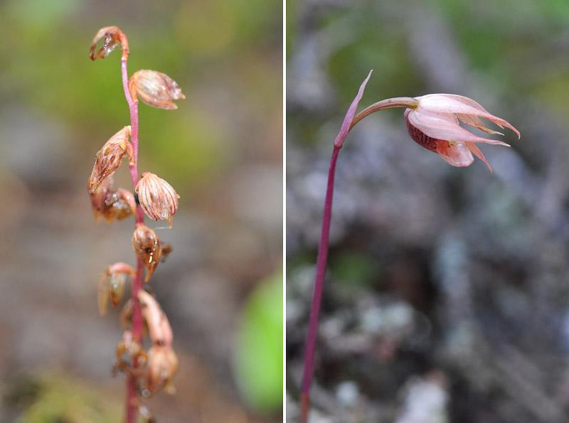 Orchidées du Québec en 3 épisodes Planch63