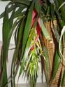 fleur de Billbergia nutans Pa060015