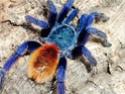 Qui connaît cette araignée. Attention ! Âmes sensibles s'abstenir ;-) Photo_10