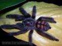Qui connaît cette araignée. Attention ! Âmes sensibles s'abstenir ;-) Psalmo10
