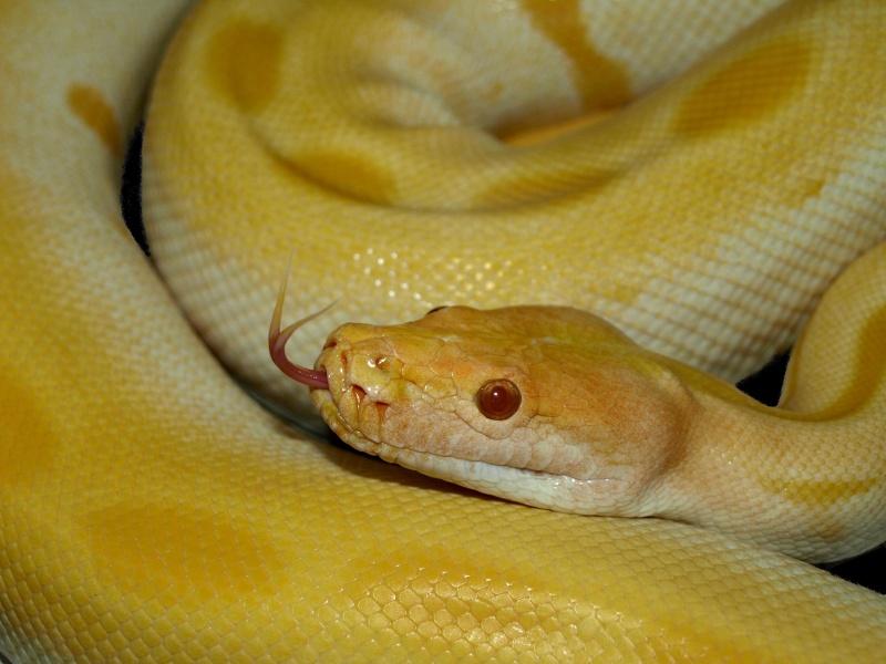 ma grosse green albi [python molure] P1013713