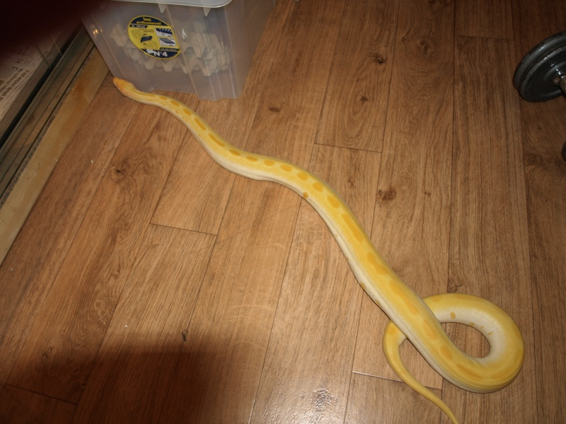 ma grosse green albi [python molure] P1013715