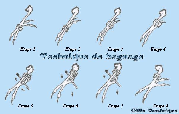 documents pratiqueS . LES BAGUES Baguag10