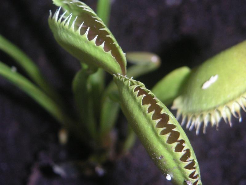 Dionaea Muscipula 'Dentate'/'Dentate traps'/'Dente' Pict0112