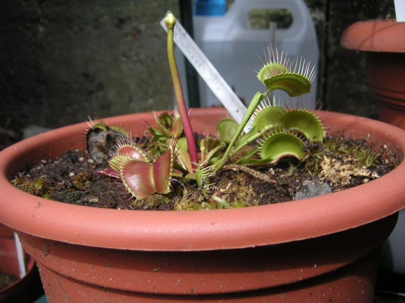 Dionaea Muscipula 'Fine tooth X Red' Pict0457