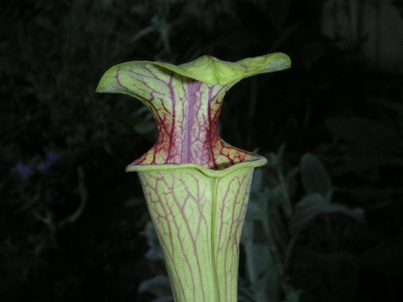 sarracenia oreophila cities 1, Georgia H.V red throat Pict0531