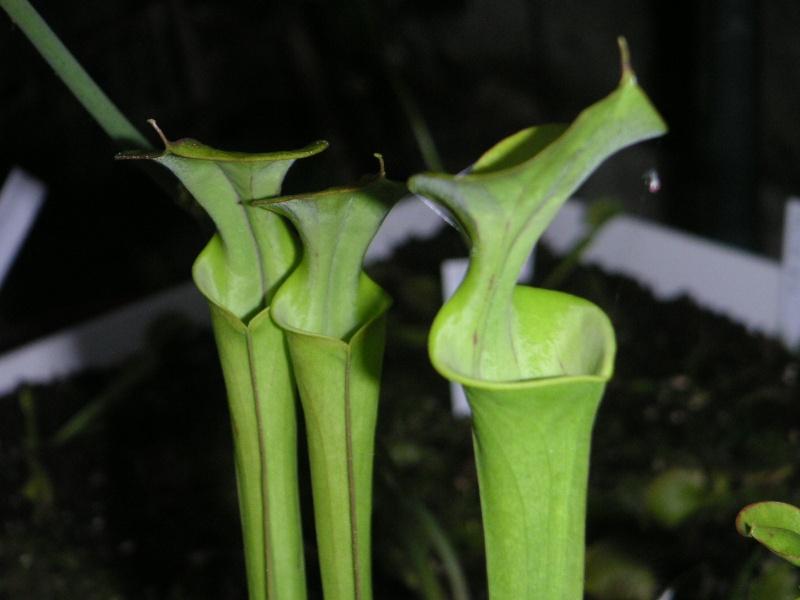 flava var flava green swamp, North Carolina Pict0533