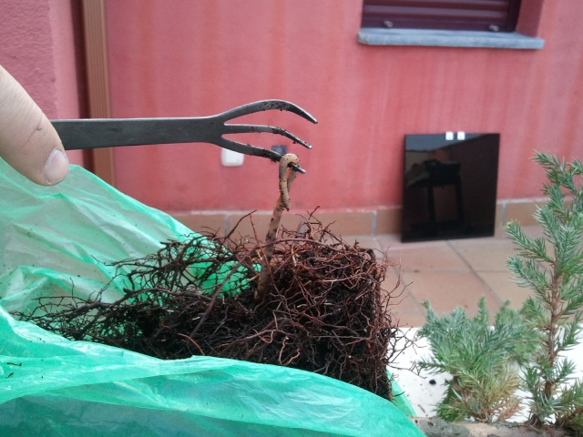 Evolucion Junipero Chinensis Stricta 2012-034