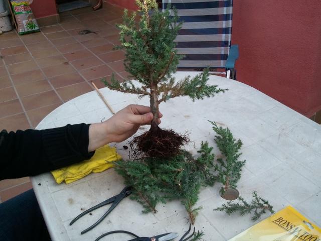 Evolucion Junipero Chinensis Stricta 2012-040