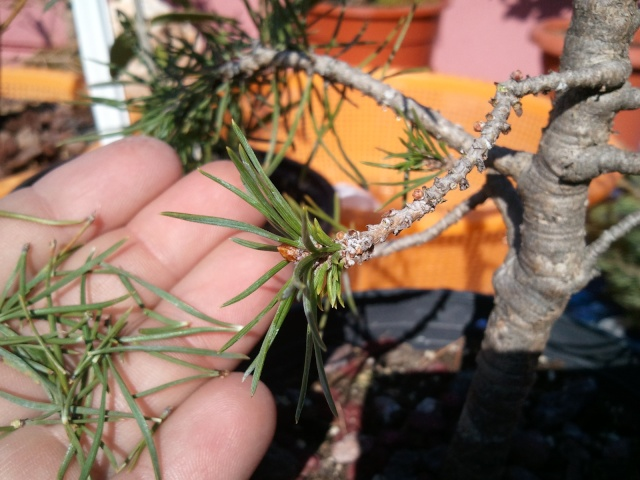 Como formar este Pino? 2012-052