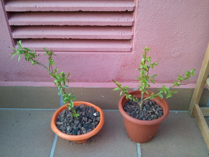Sauce Lloron con exito 2012-092