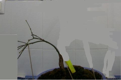 Arce palmatum atropurpureum/ Ahora trasplante 34973a10
