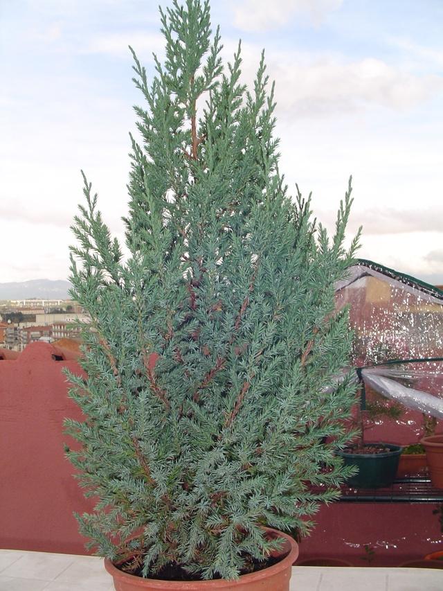Evolucion Junipero Chinensis Stricta Dsc00821